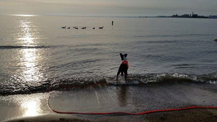 Dog with red working vest and leash standing in Lake Michigan, gulls farther out on waves