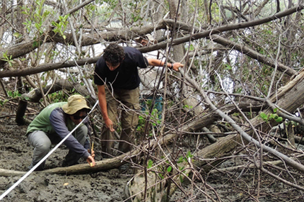 Two scientists measuring blue carbon stock in mangrove soils