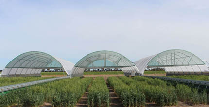 Drought tolerance wheat and rainout shelter