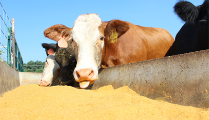 Cattle at trough with distillers' grain (DDGS)