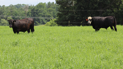 Steers grazing Tifton 85 grass and DDGS during June.