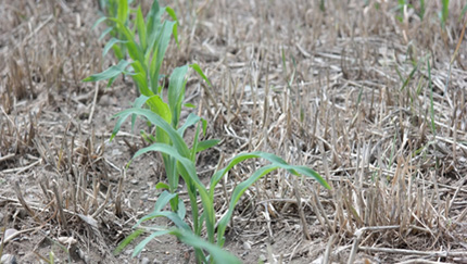 Spring corn growing between winter triticale stubble