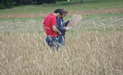 sampling cereal rye in organic winter wheat field